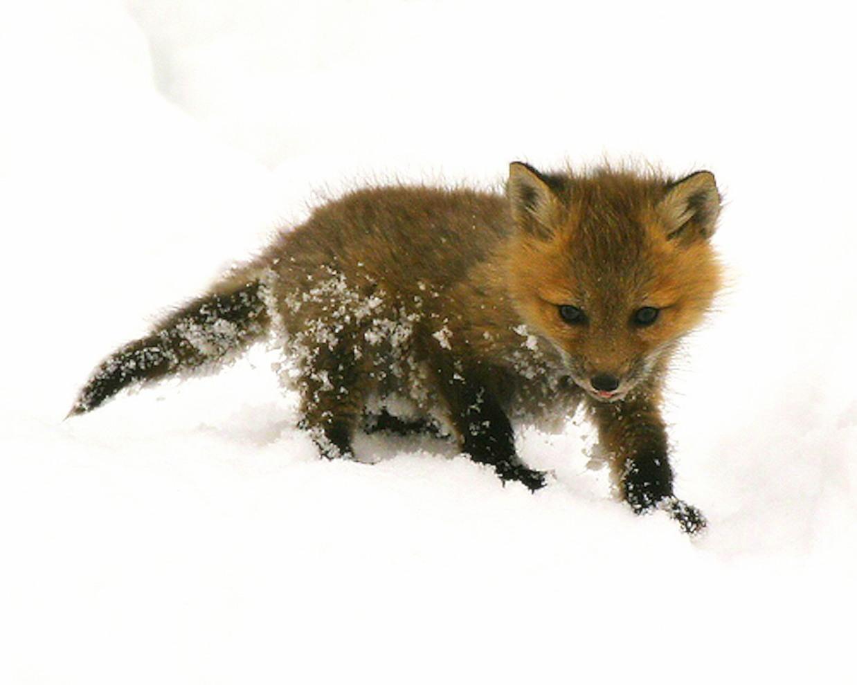 Baby Foxes Wallpaper Wallpapersafari