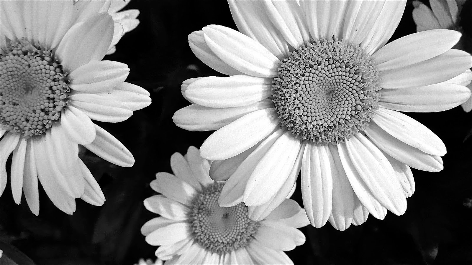 Free Download The Weekend In Black And White Daisies Black And