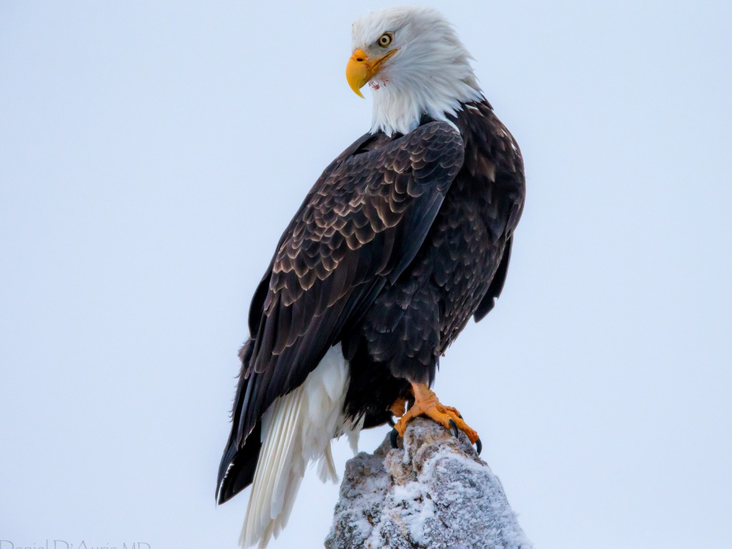 66 Bald Eagle Desktop Wallpaper On Wallpapersafari