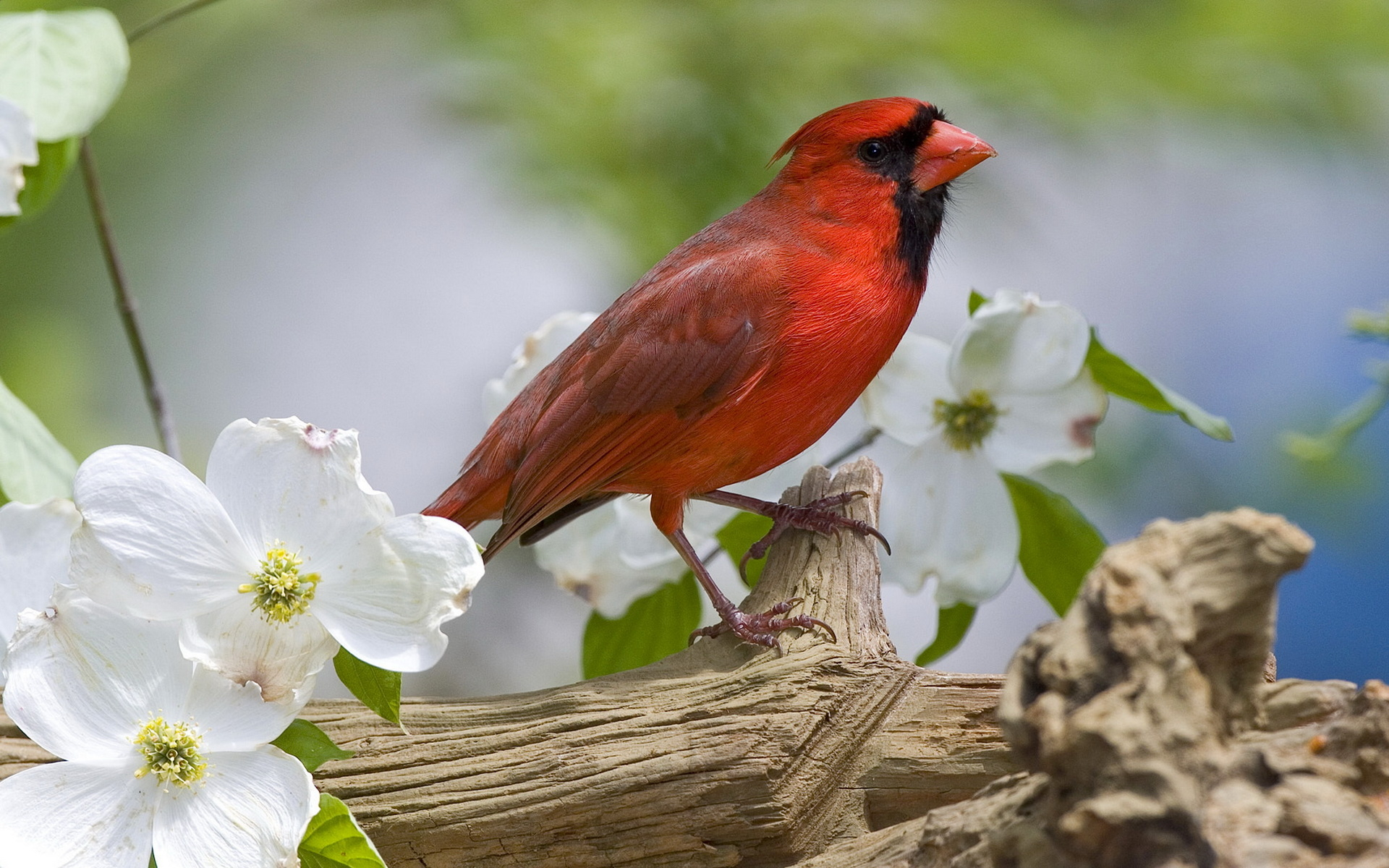Bird Birds Animals Pictures Red wallpapers HD   200530 1920x1200