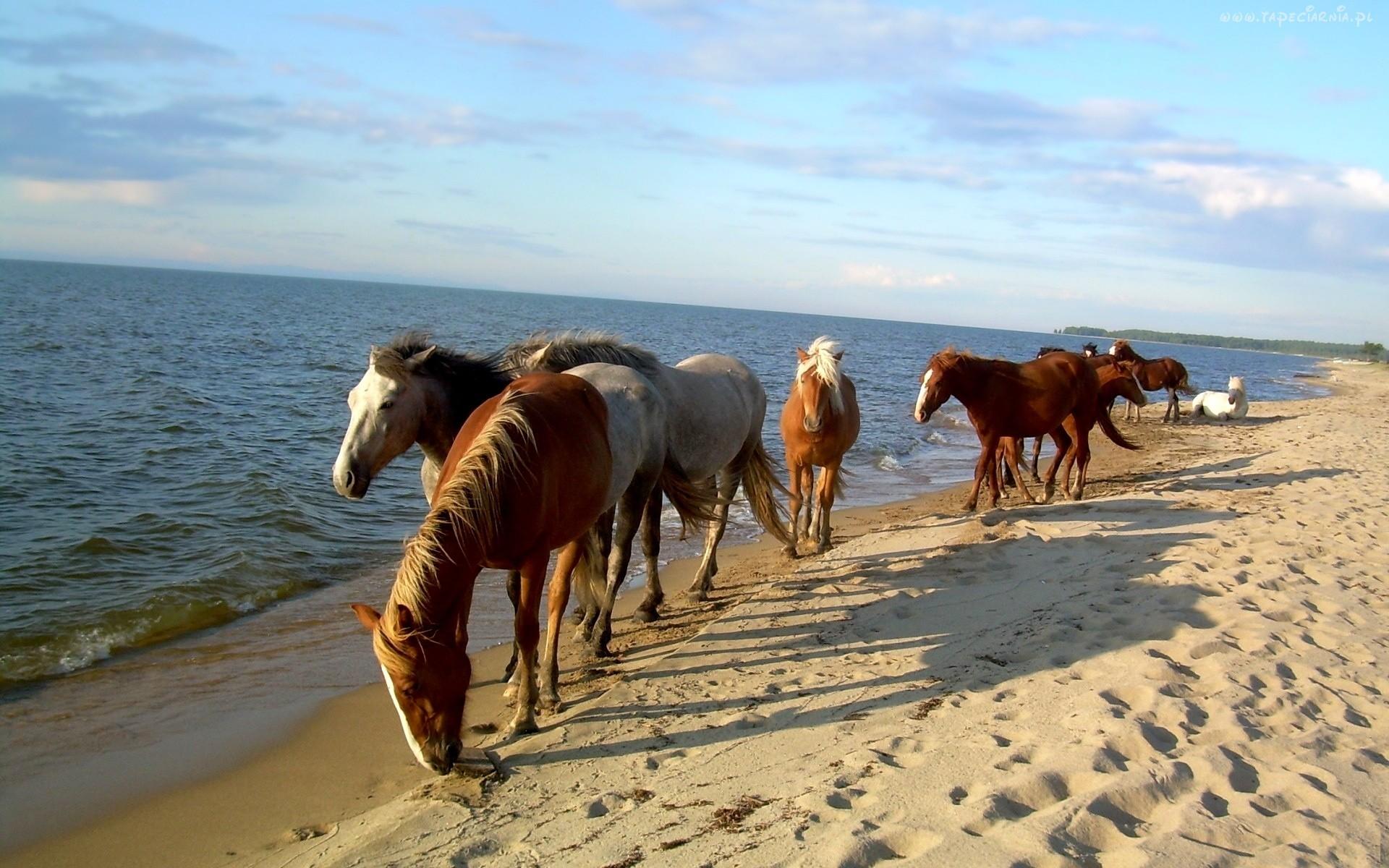 Horses on the beach wallpaper wallpapersafari for Fond ecran hd gratuit