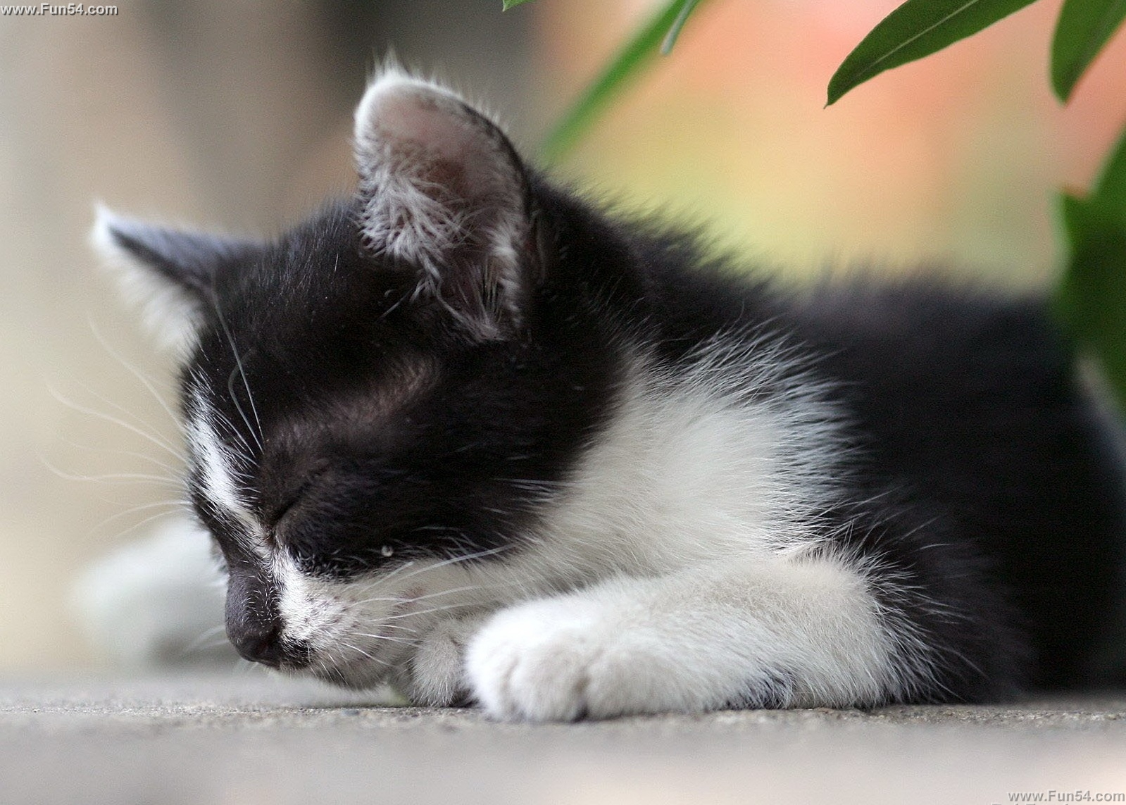 Cute Black White Cat Sleeping on the Ground Wallpaper 1599x1143