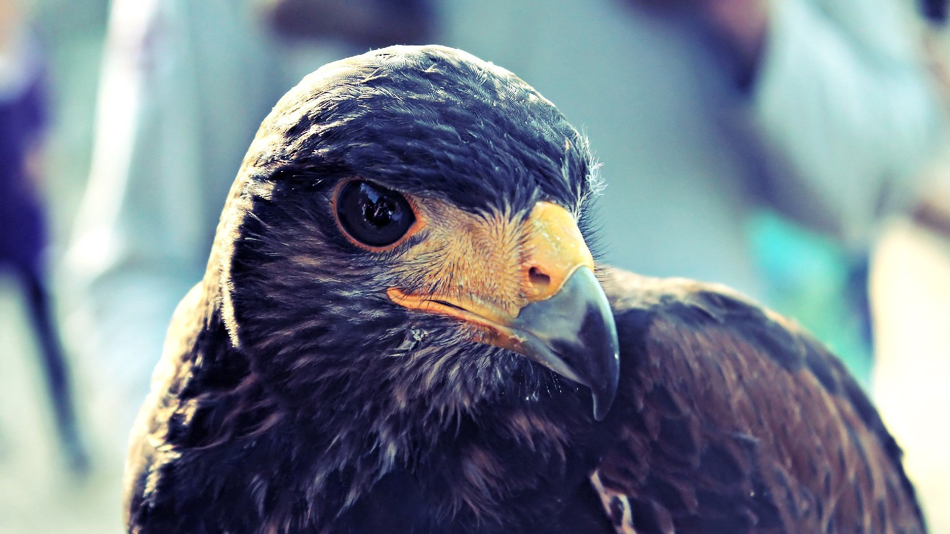 Hawk Bird HD 1080p Wallpapers Download HD Wallpapers Source 1920x1080
