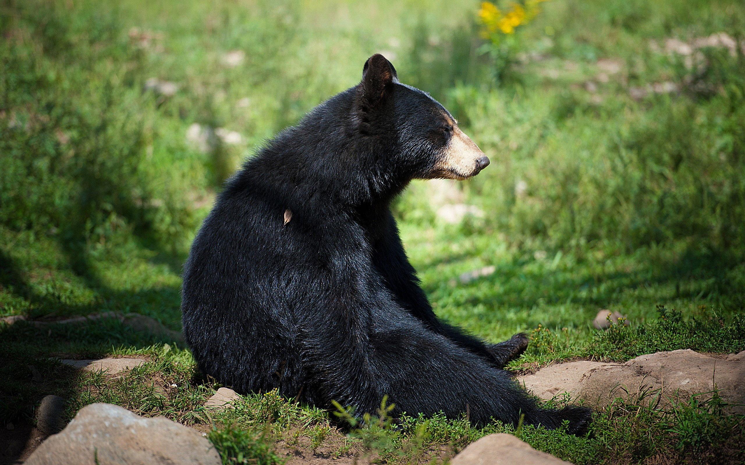 Шкура медведя обои на рабочий стол