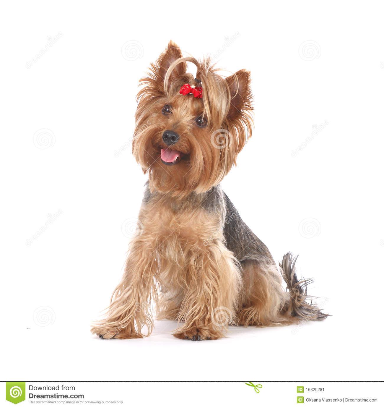 Dog Yorkshire Terrier Portrait Stock Image 16329281 1300x1380