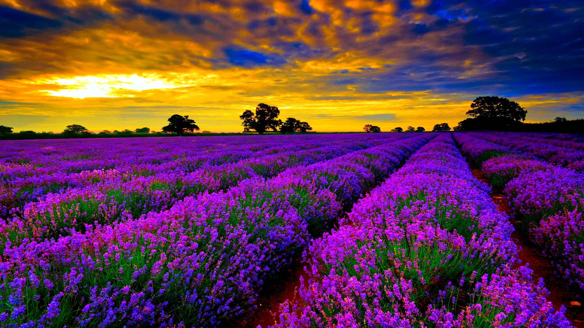 Dramatic Lavender Farm Wallpaper HD 9877 Wallpaper Wallpaper Screen 1920x1080