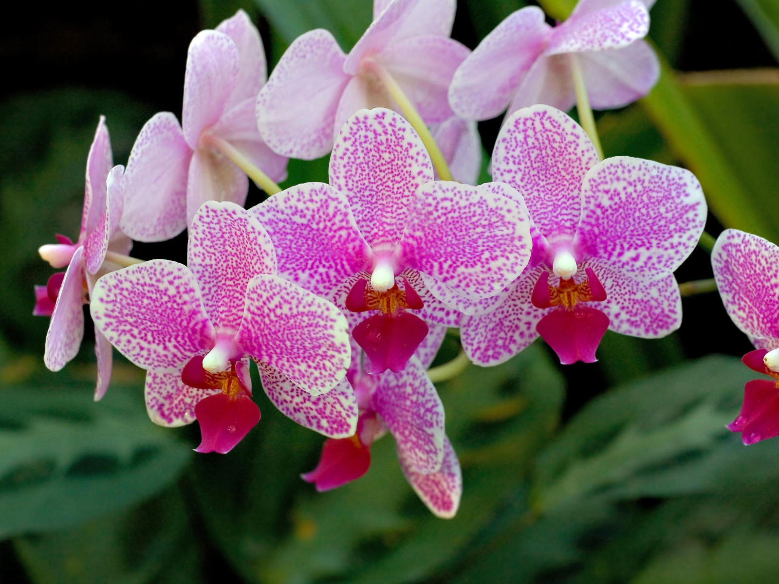 Close Up Of Beautiful Orchid Flowers In Farm Chaing Mai Thailand Stock Photo