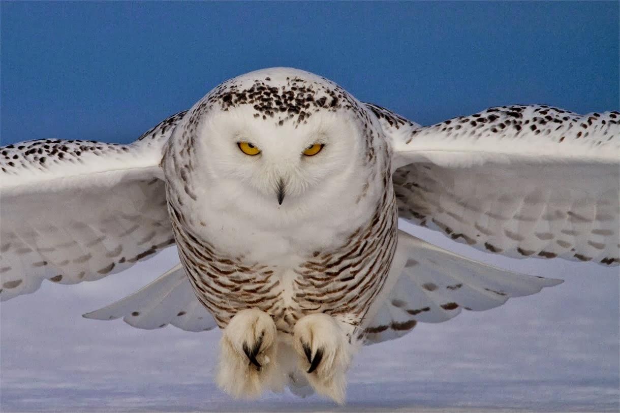 Snowy Owl 1220x813