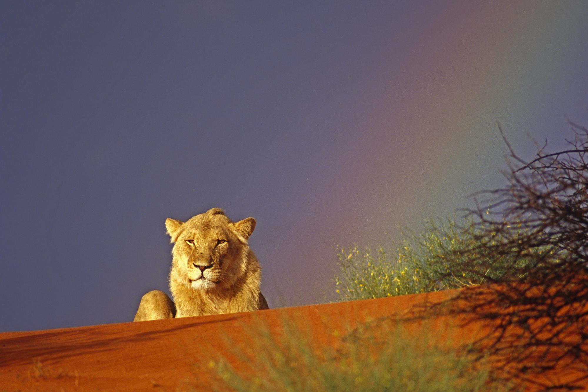 Download Adult Lions wallpaper lion near rainbow wallpaper 1999x1333
