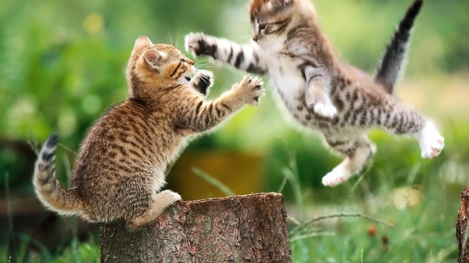 Wallpaper Kittens At Play Desktop High Quality 1920x1080