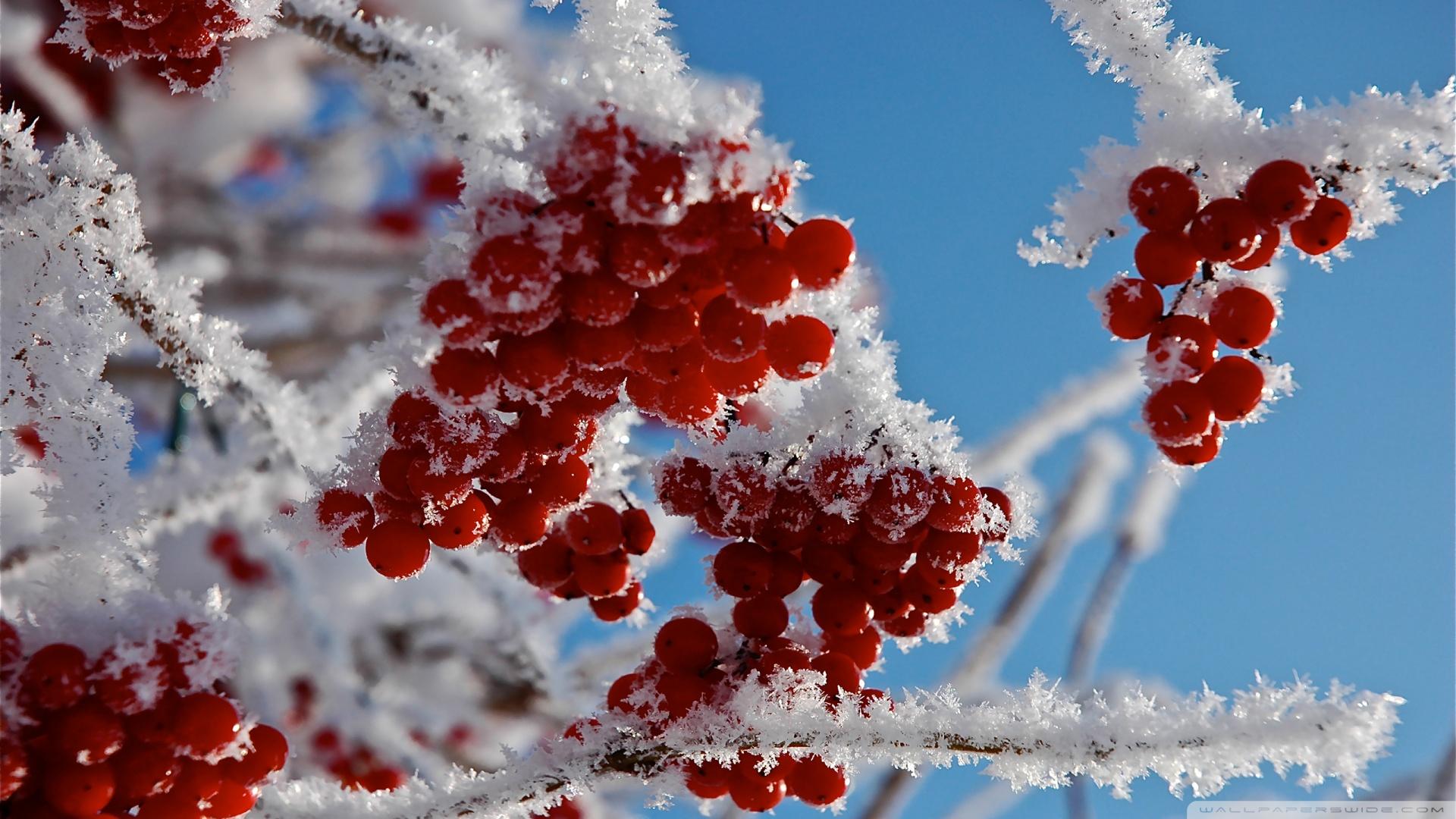 Winter Berries Wallpaper on WallpaperSafari