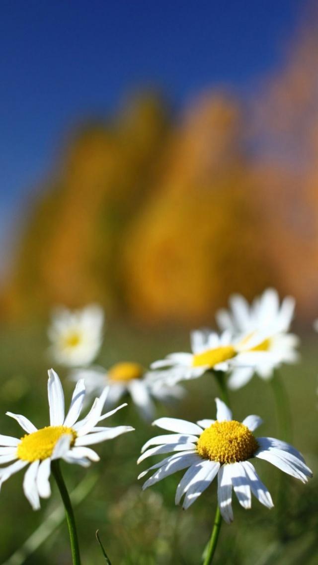 pole cvety romashki fon flower iPhone 6 iPhone 6 S Plus Wallpaper 640x1136