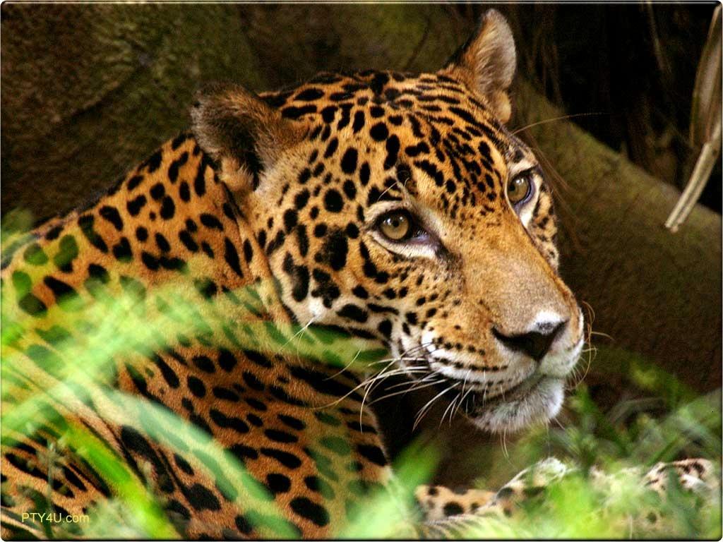 Wallpaper Animal Jaguar 1024x768