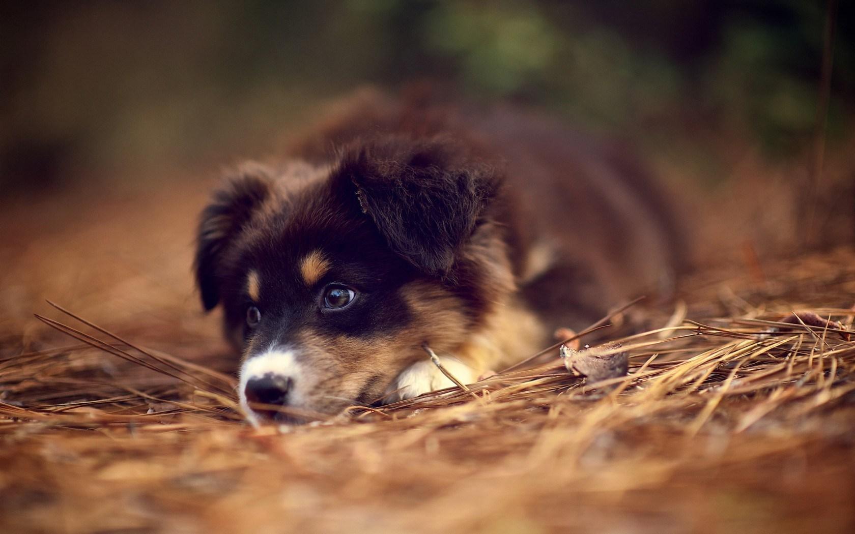 Australian Shepherd Puppy Hd Wallpaper Wallpaper List 1680x1050
