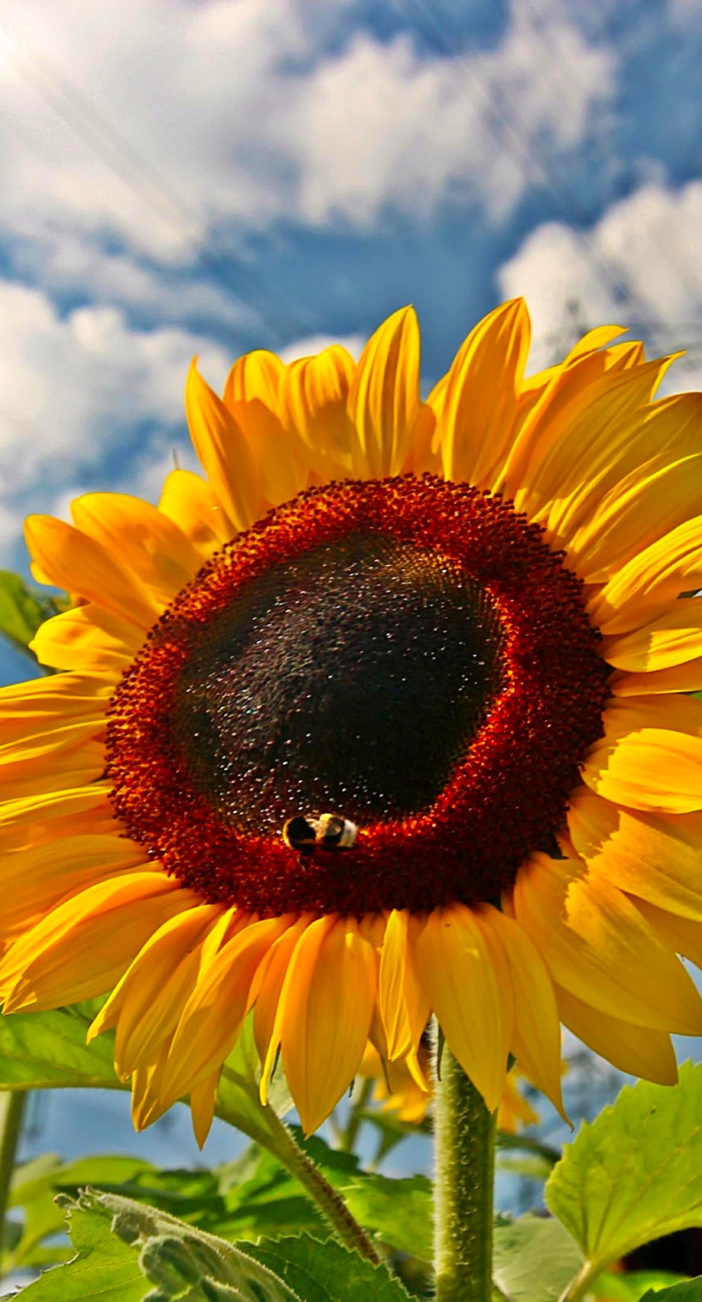 Sunflower sky flower wallpapersc iPhone7Plus 1398x2592