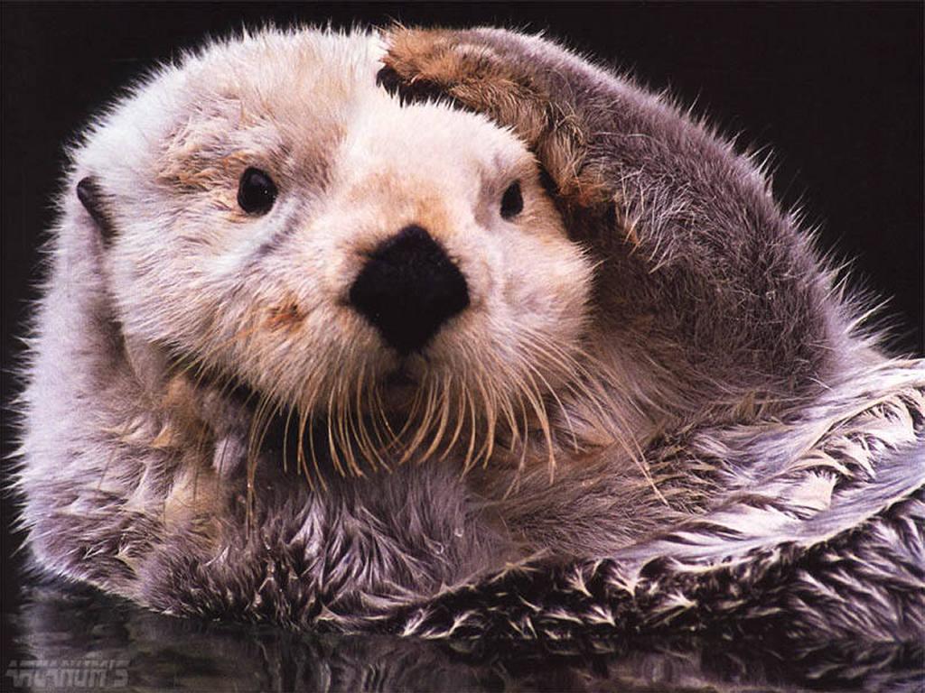 Otter Wallpaper Related Keywords Suggestions   Otter Wallpaper Long 1024x768