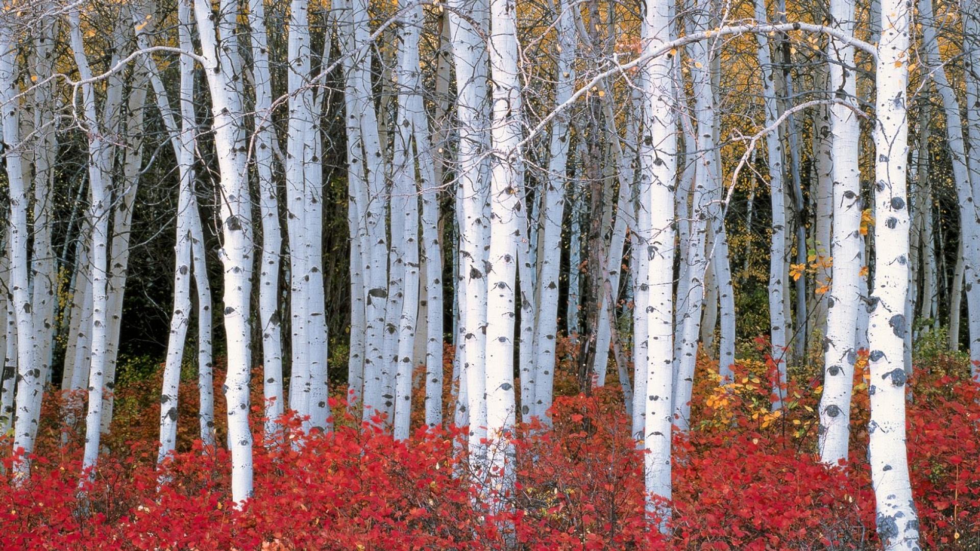 Birch Tree 6836840 1920x1080