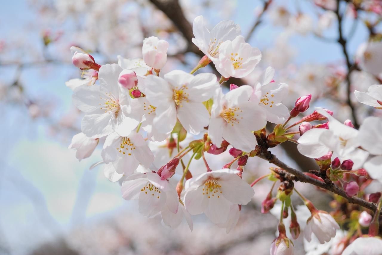 Sakura Flower Wallpaper WallpaperSafari