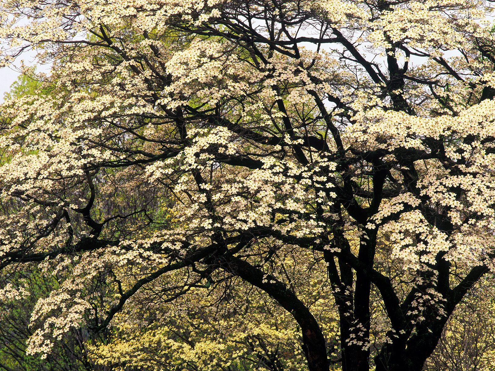 HQ Flowering Dogwood In Spring Kentucky Wallpaper   HQ 1600x1200