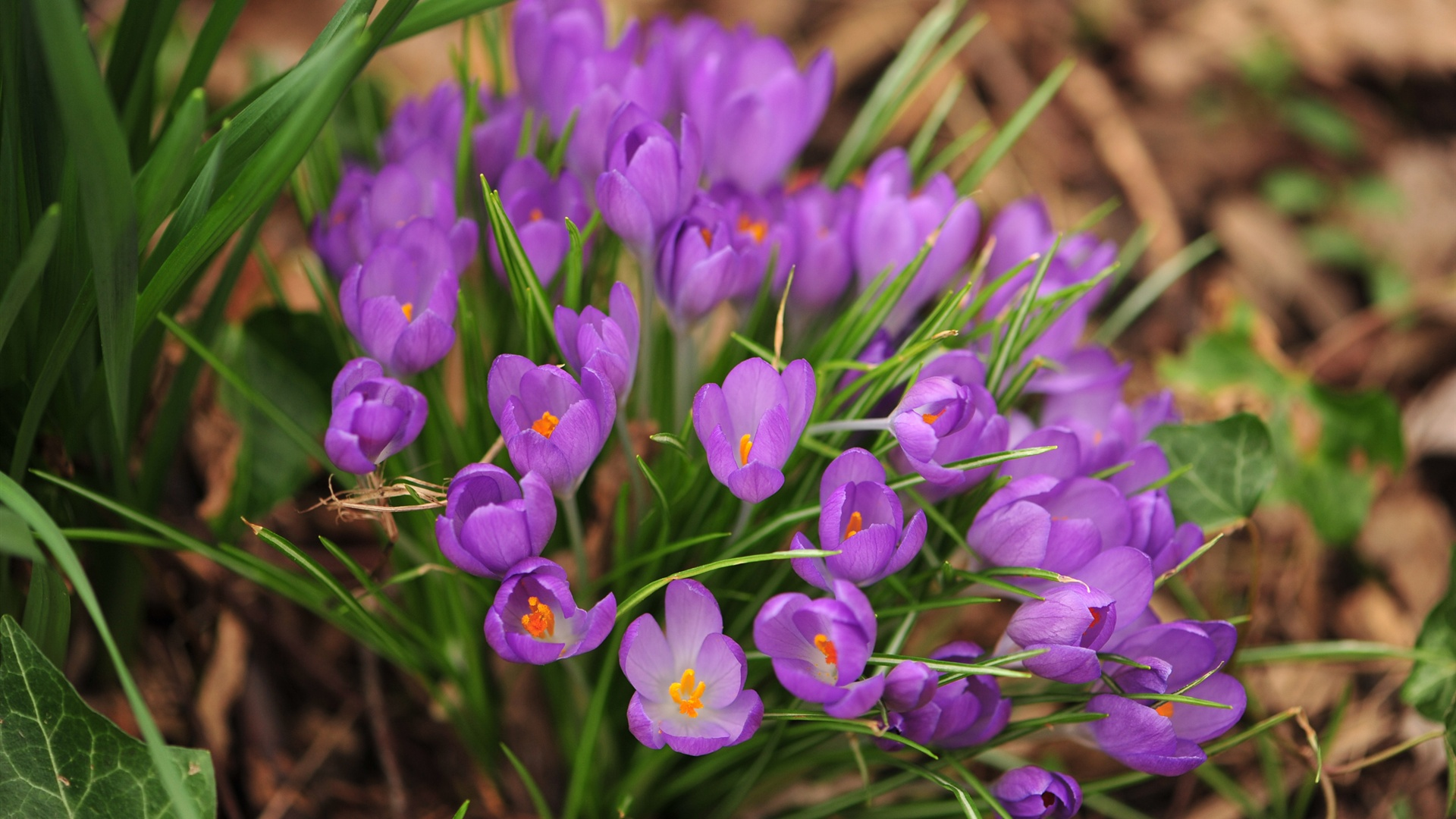Nature Spring Purple Flowers Close up   High Definition Wallpapers 1920x1080