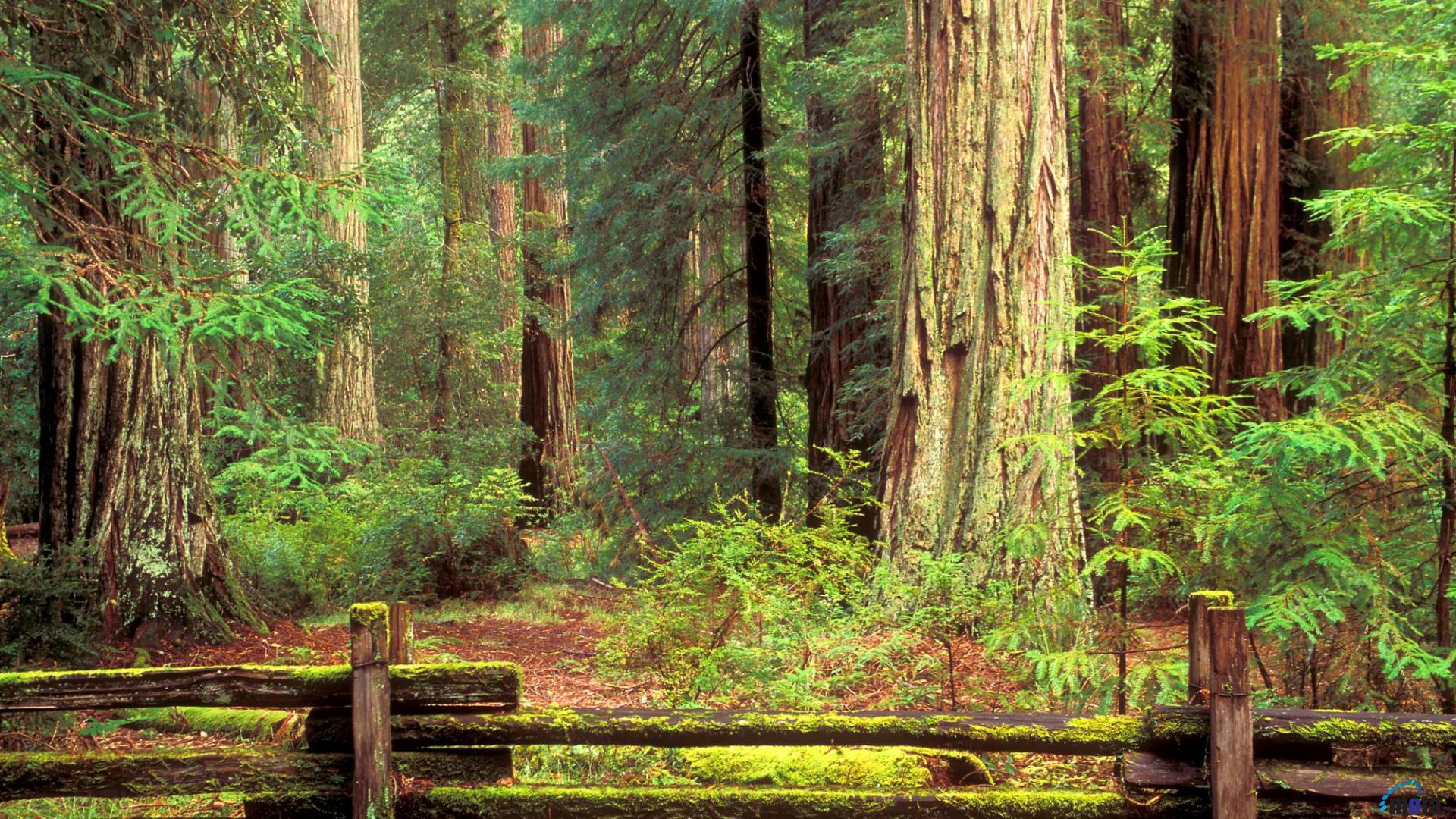 Redwood Forest Wallpaper   52DazheW Gallery 1920x1080