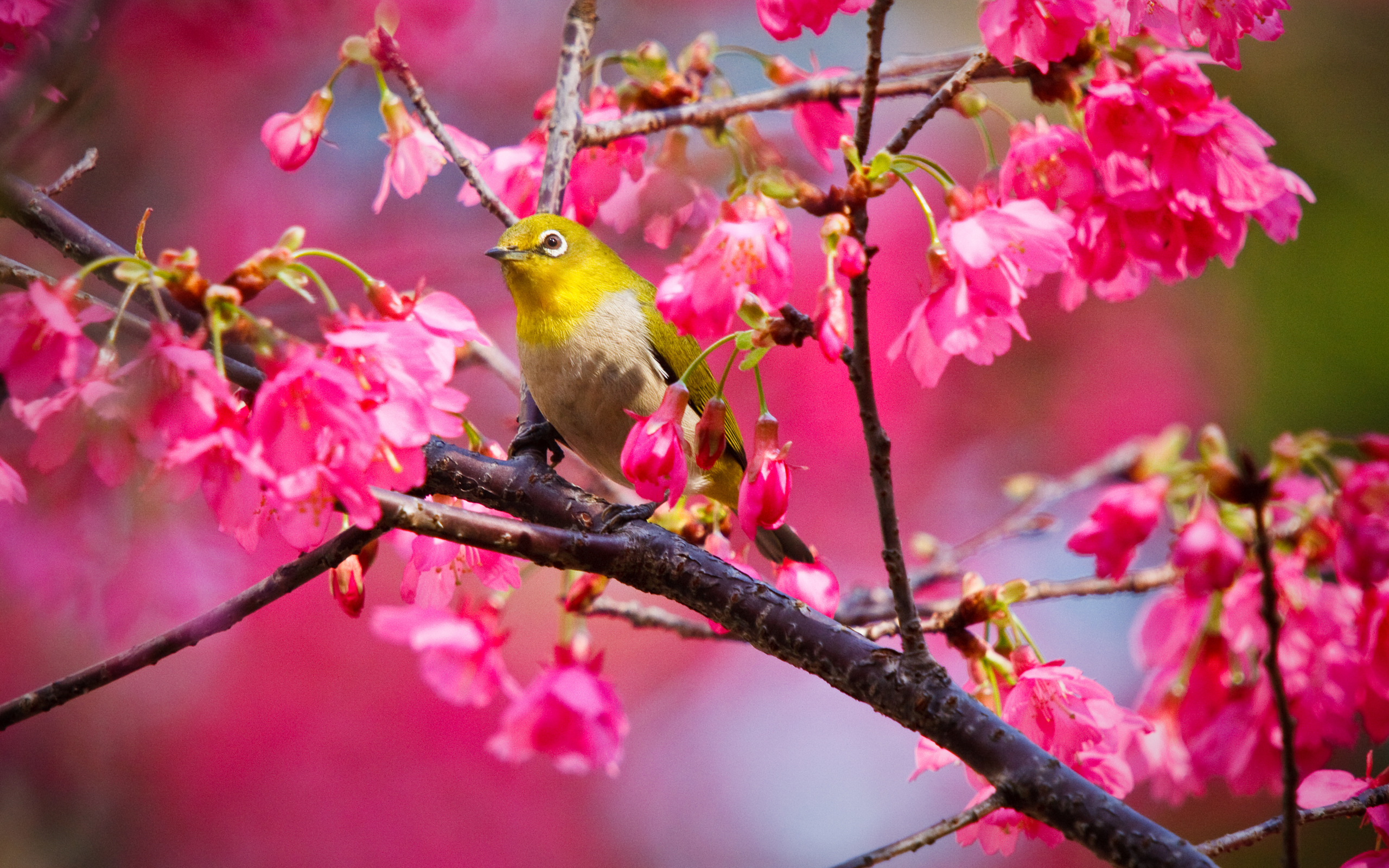 yellow bird on the branch of rose color cherry tree click to download 2560x1600