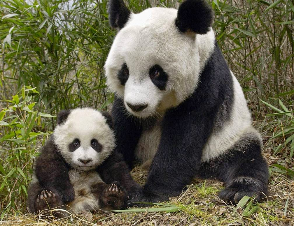 Panda Bear Wallpapers Download Cute Panda Bear Cubs Images 1008x776