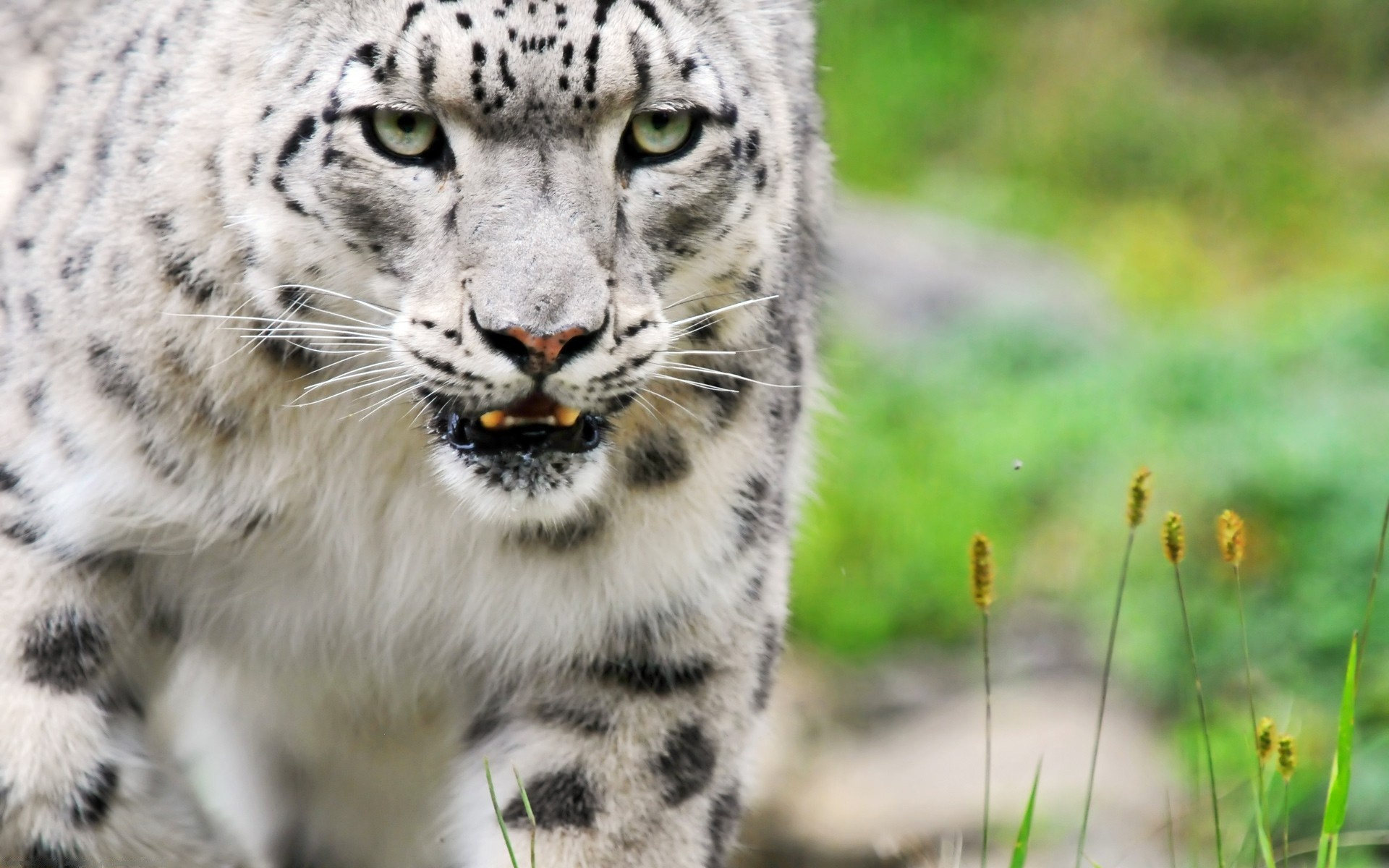 Download Amazing White Tiger HD Widescreen Tigers Wallpaper 1920x1200