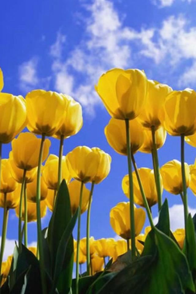 Tulips Flower iPhone HD Wallpaper iPhone HD Wallpaper download iPhone 640x960