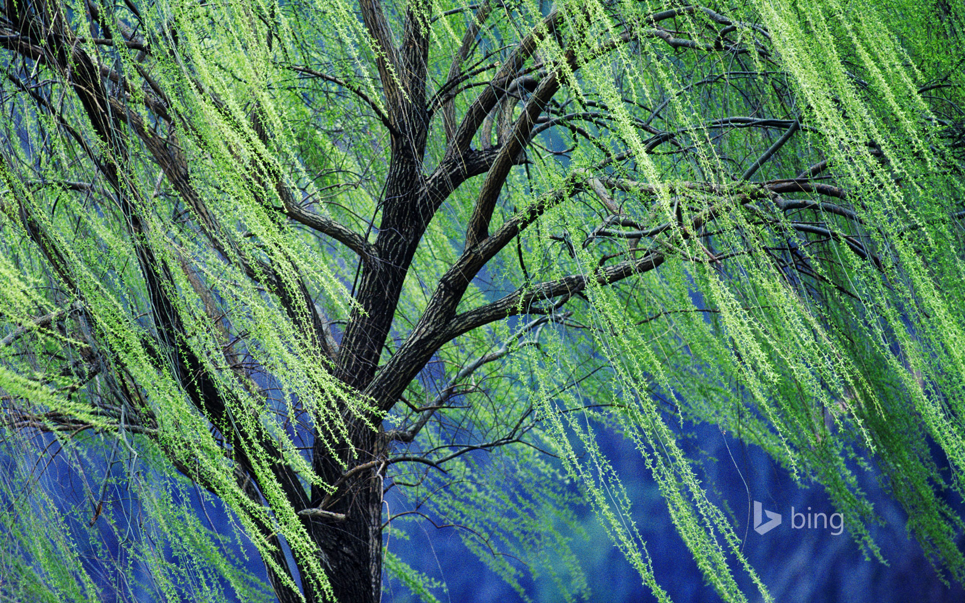 weeping willow tree Rolf Nussbaumer PhotographyAlamy   Bing 1920x1200