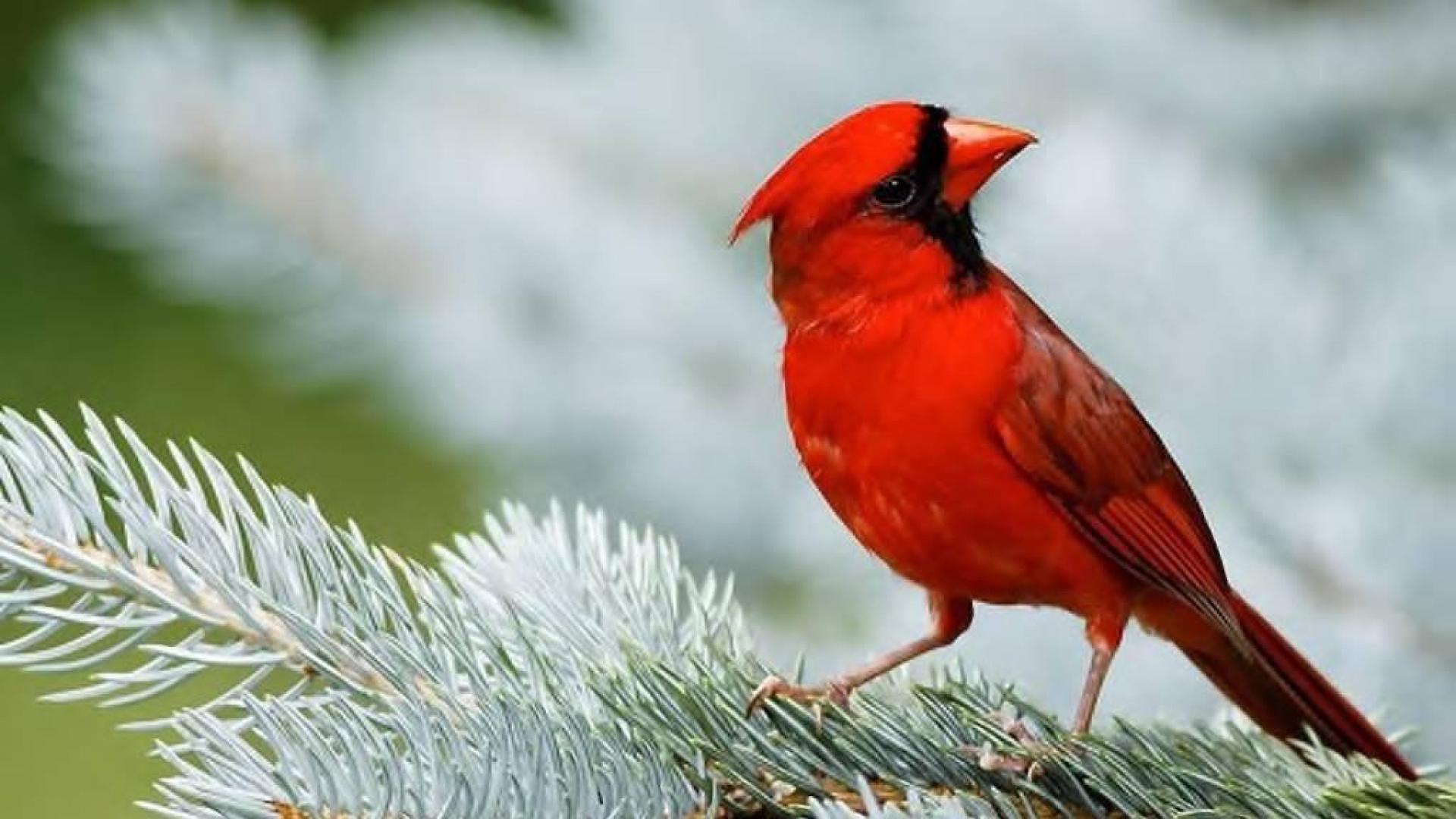 37 winter cardinals desktop wallpaper on wallpapersafari - Winter cardinal wallpaper ...