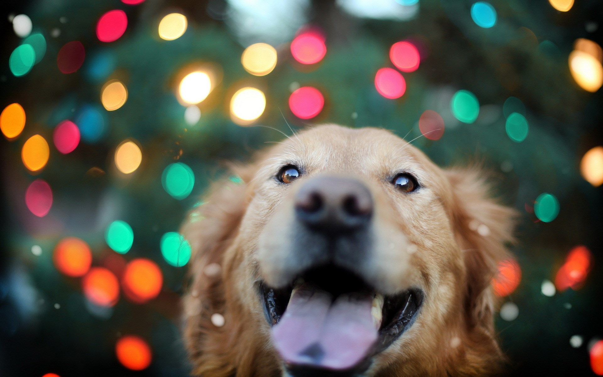 Golden Retriever HD Wallpapers 1920x1200