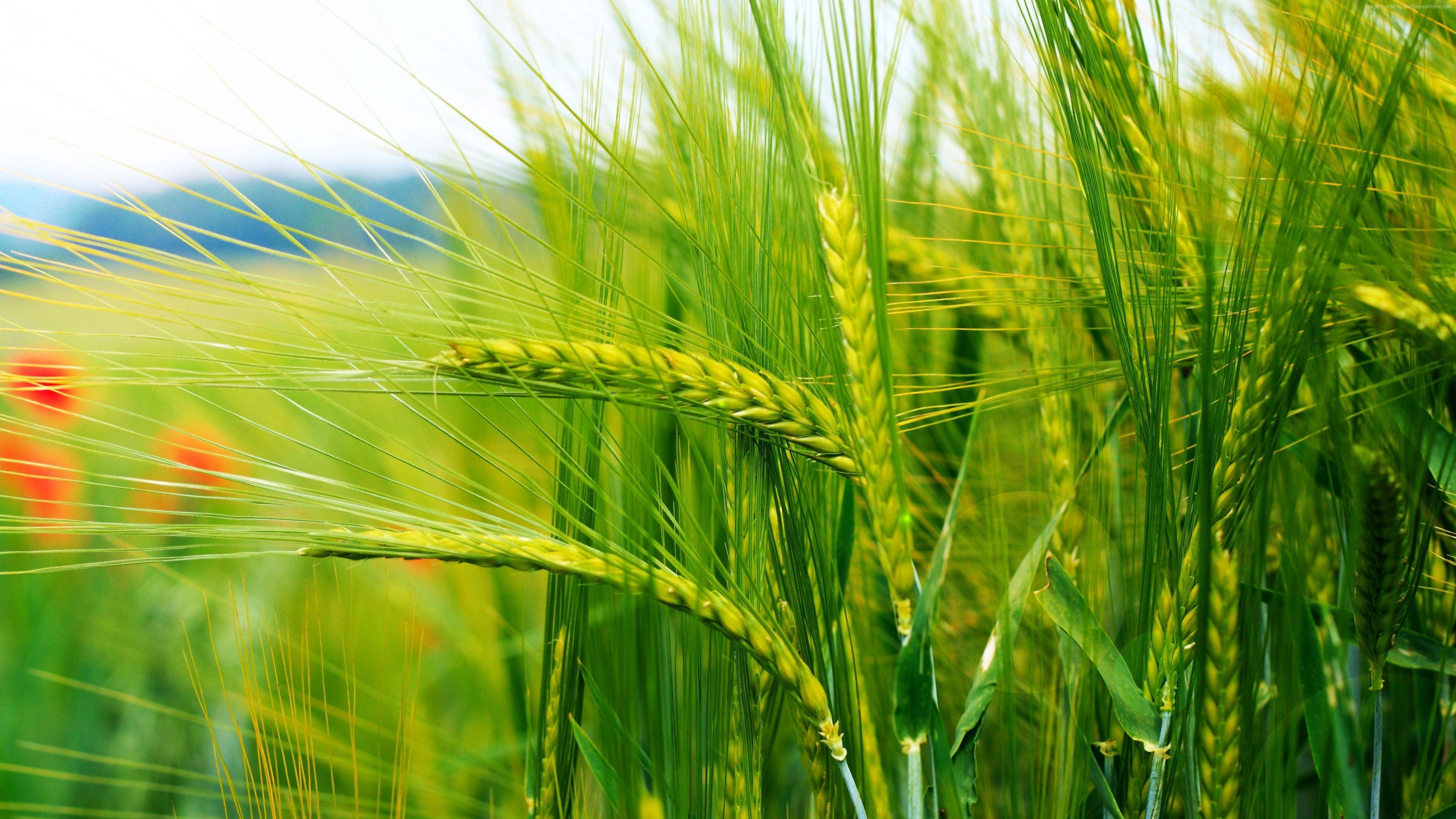Selective focus photo of green rye field HD wallpaper Wallpaper 3840x2160