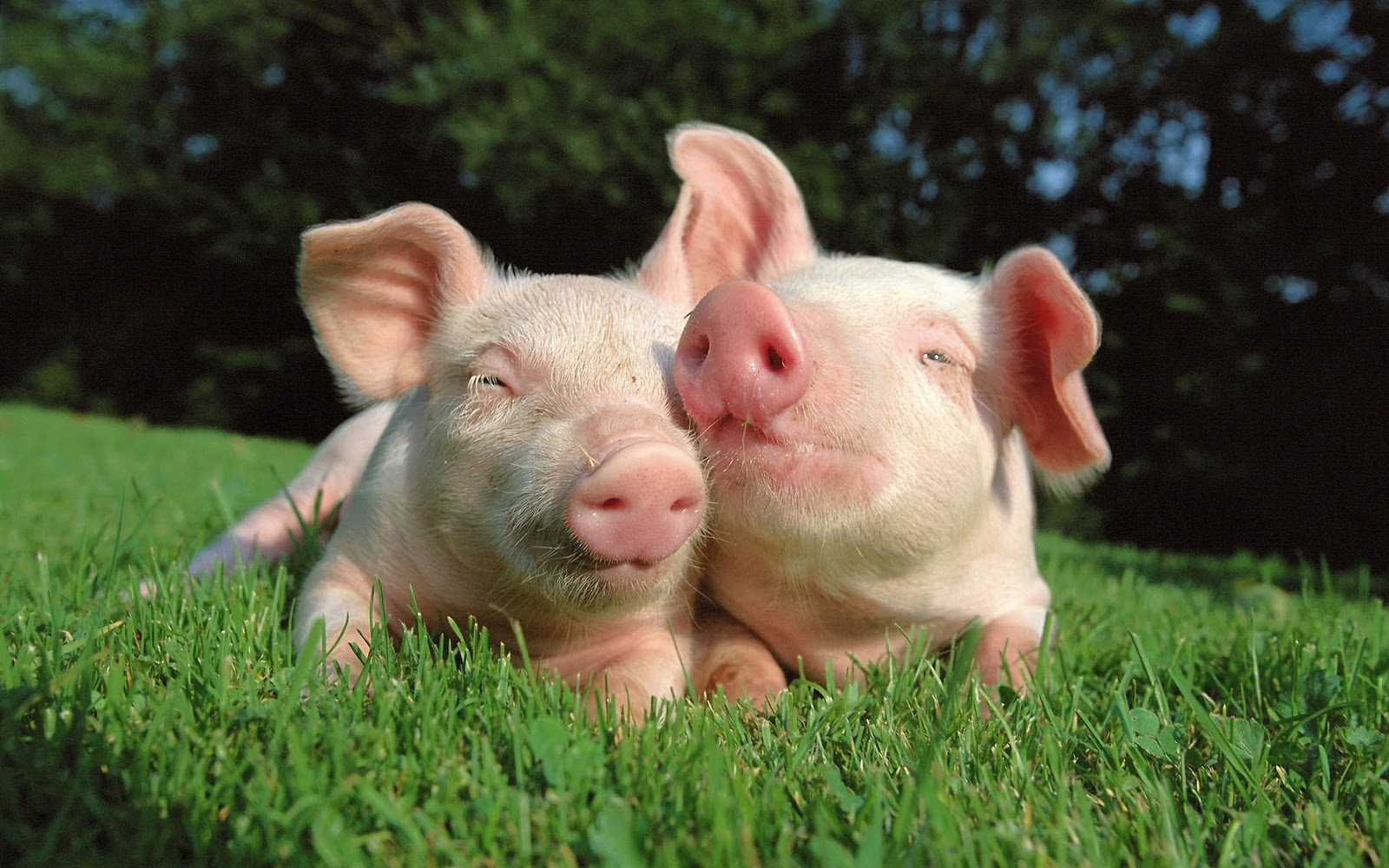 Bureaublad achtergrond met twee roze varkens in het gras 1600x1000