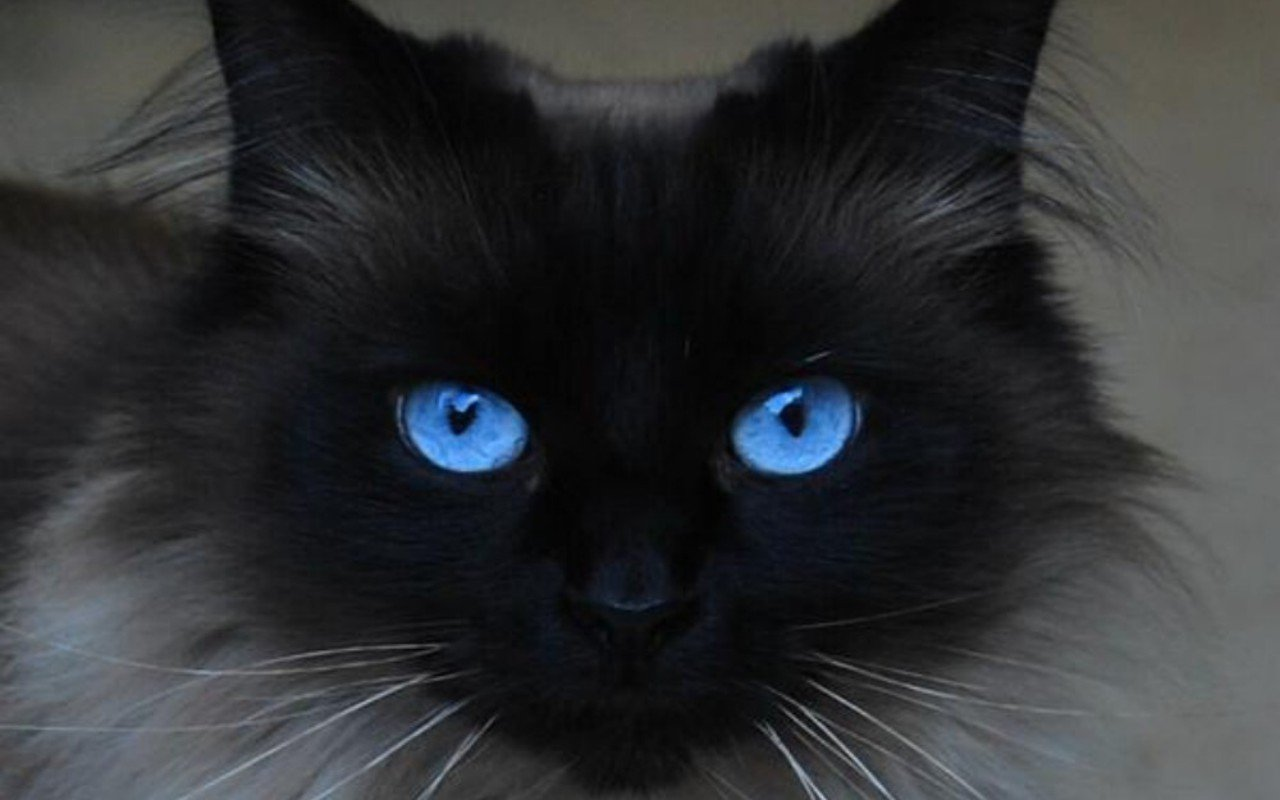 Blue Eyed Cats inspiration photos 1280x800