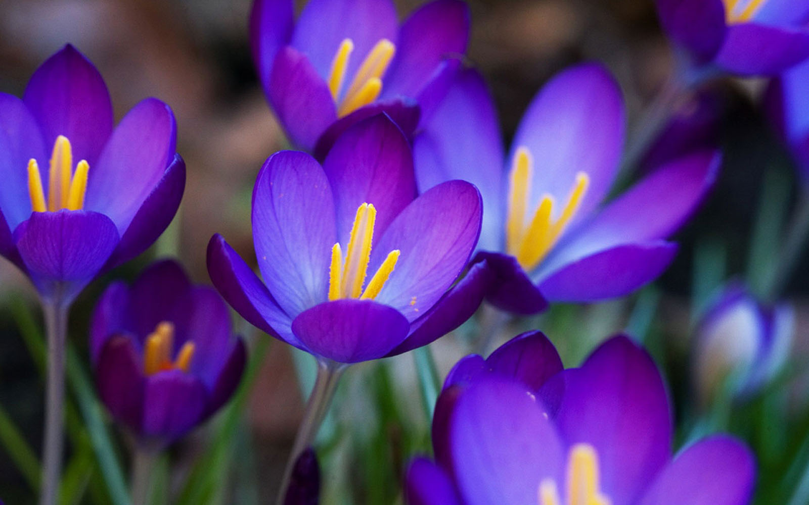wallpapers Purple Crocus Flowers Wallpapers 1600x1000