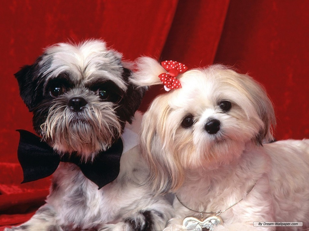 Toy Dog Wallpaper   Dogs Wallpaper 7014194 1024x768