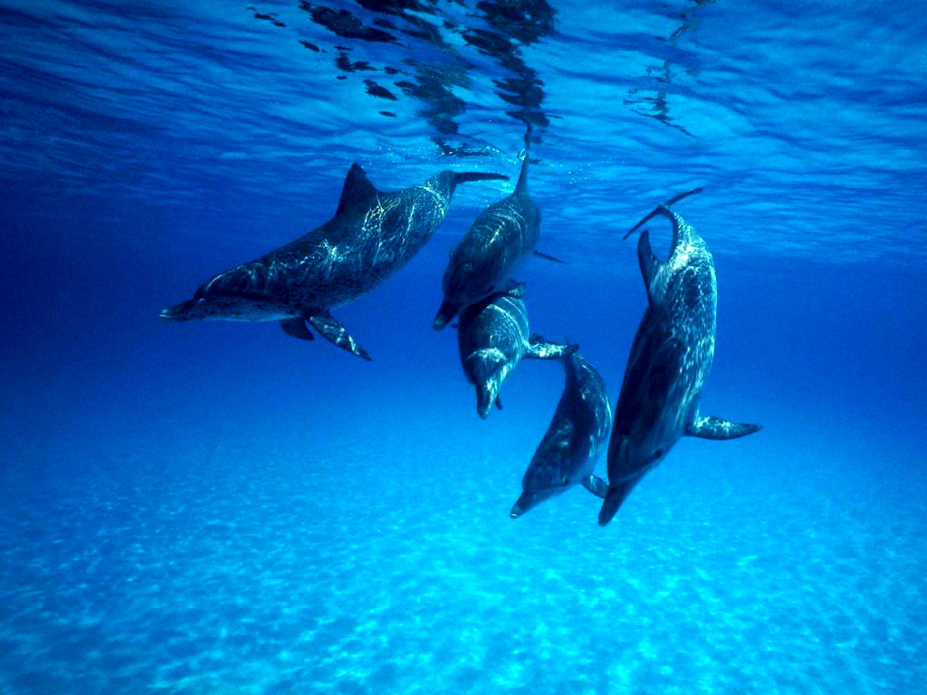 Dolphin underwater wallpaper wallpapersafari for Wallpaper fish in water