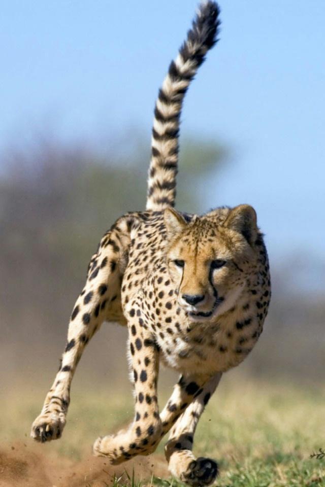 Running Cheetah iPhone 4 Wallpaper and iPhone 4S Wallpaper 640x960