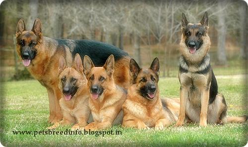 German Shepherd HD Wallpaper Download All About Dogs 500x296