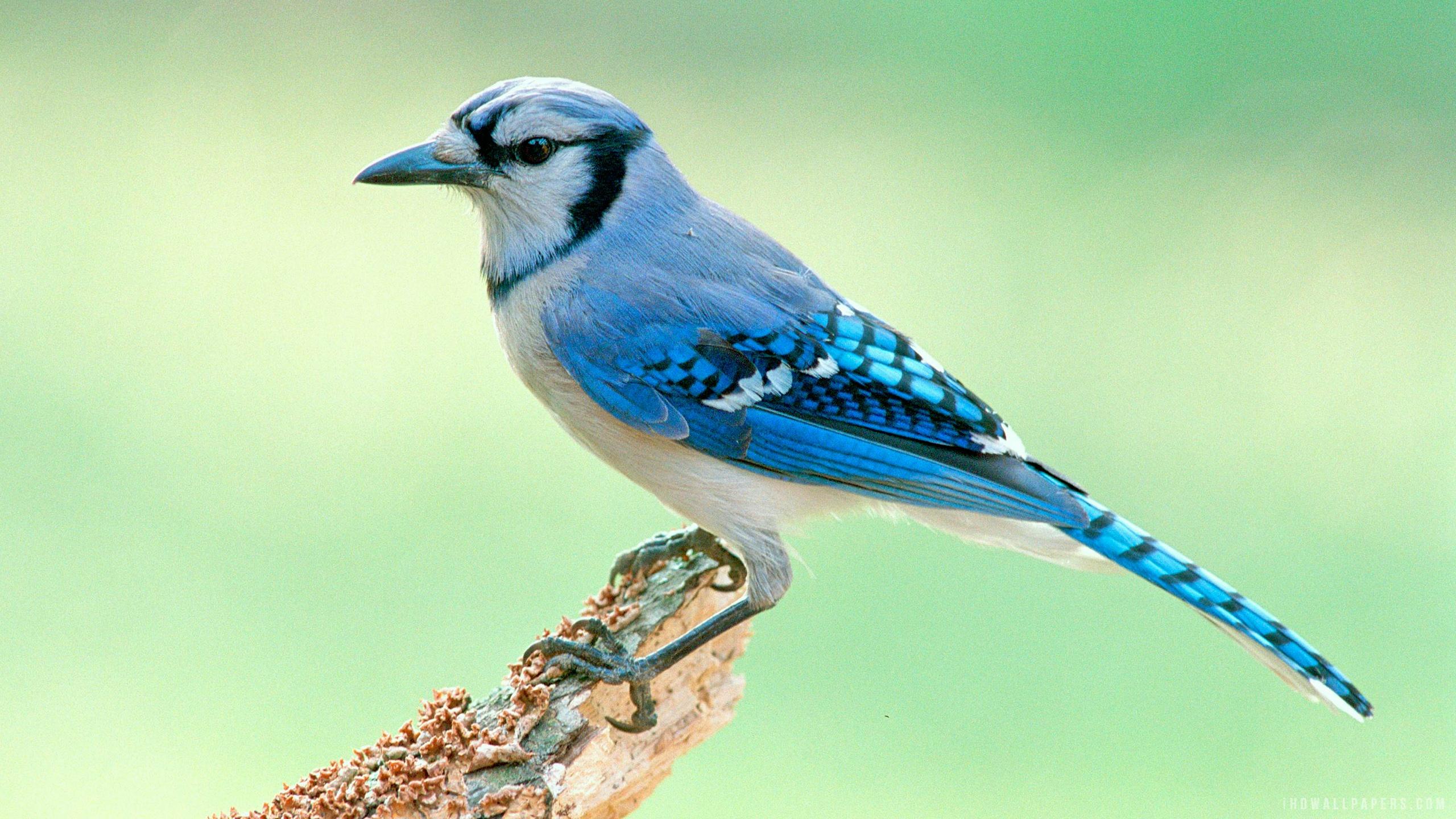 Blue Jay Bird HD Wallpaper   iHD Wallpapers 2560x1440