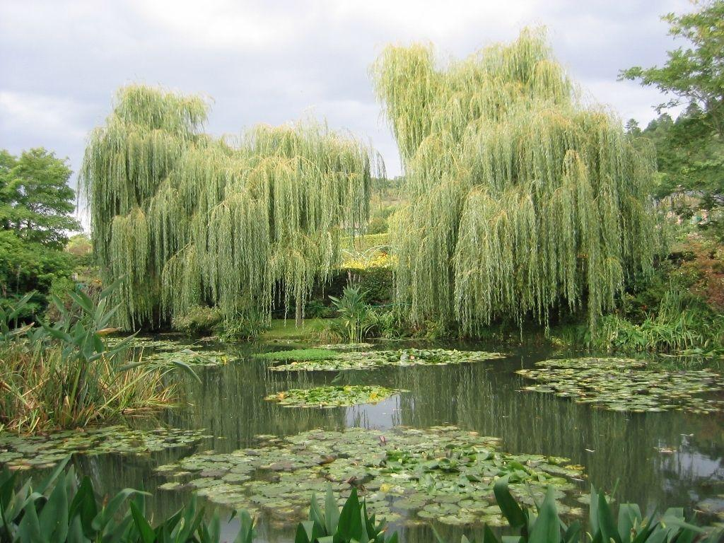 Weeping Willow Wallpapers 1024x768