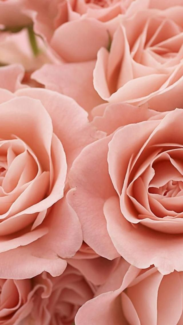 50 Rose Wallpaper For Iphone On Wallpapersafari
