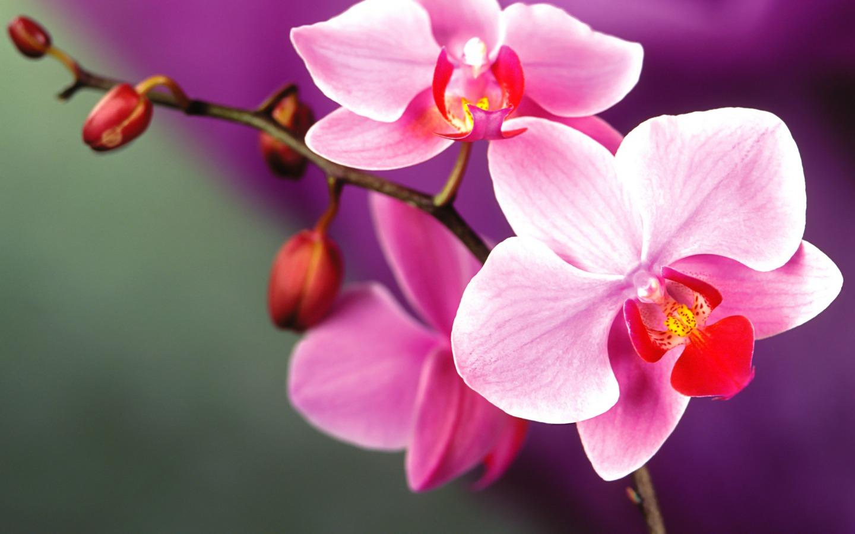 orchid flower wallpaper wallpapersafari