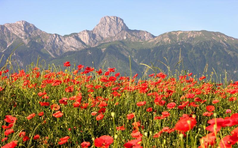 HD Field Of Poppies Wallpaper Download   60080 800x500