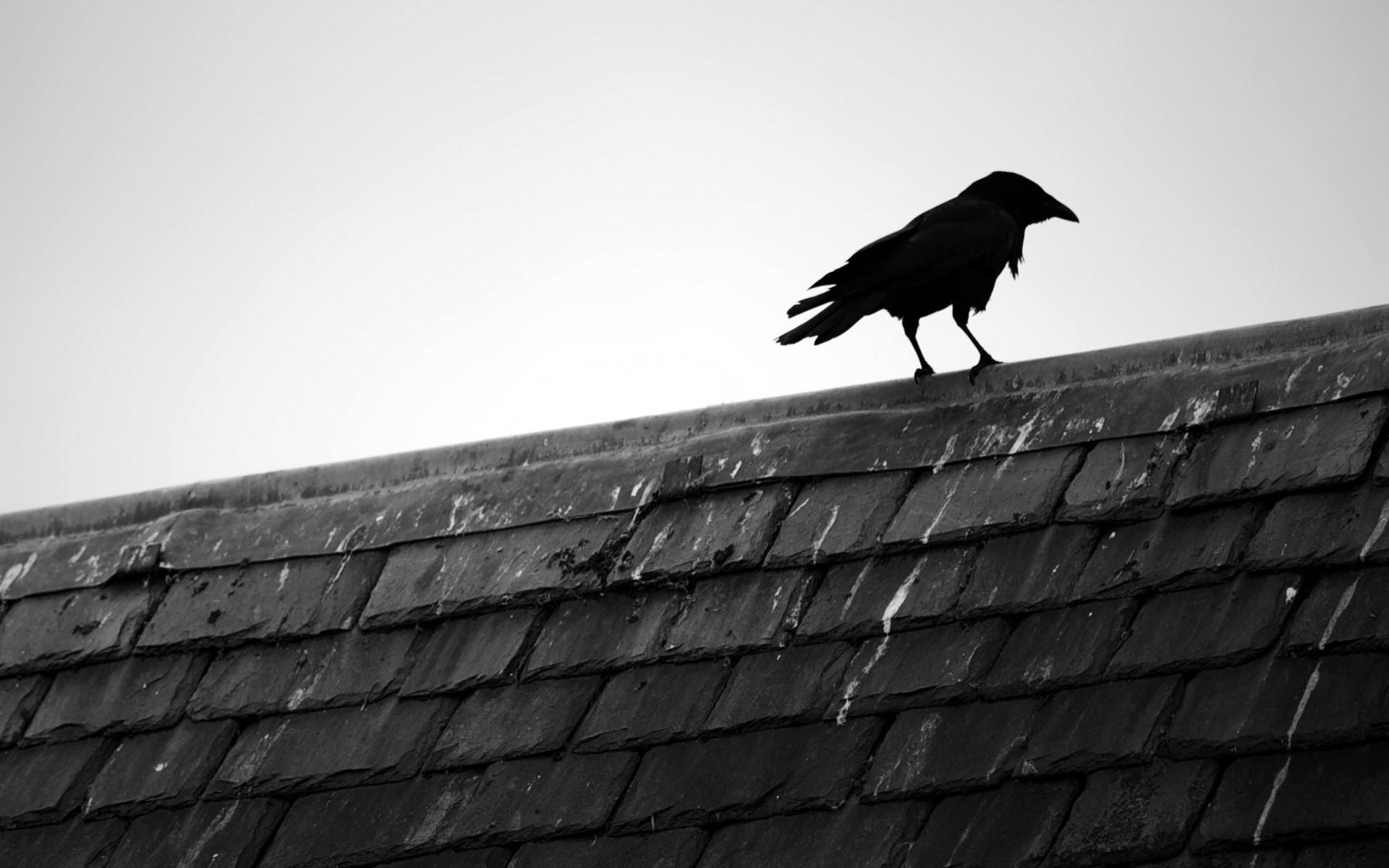 Black and white birds animals rooftops black bird raven wallpaper 1920x1200