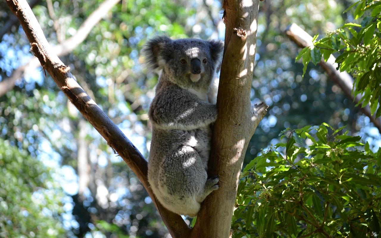 ... Name: #837296 Wallpapers Of The Day: Koala | 1280x800 Koala Images