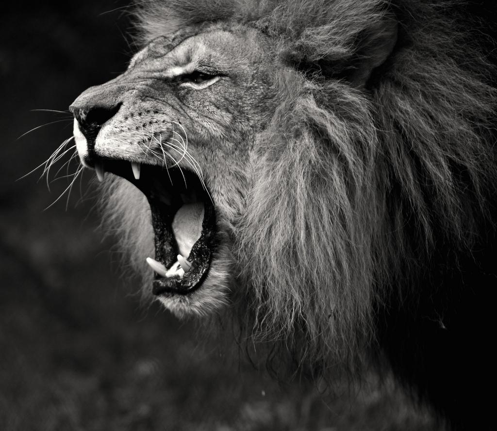 Free Download Lion Roar Black And White Wallpaper 1024x889 For Your Desktop Mobile Tablet Explore 94 Lion Roar Wallpapers Lion Roar Wallpaper Lion Roar Wallpapers Katy Perry Roar Wallpaper