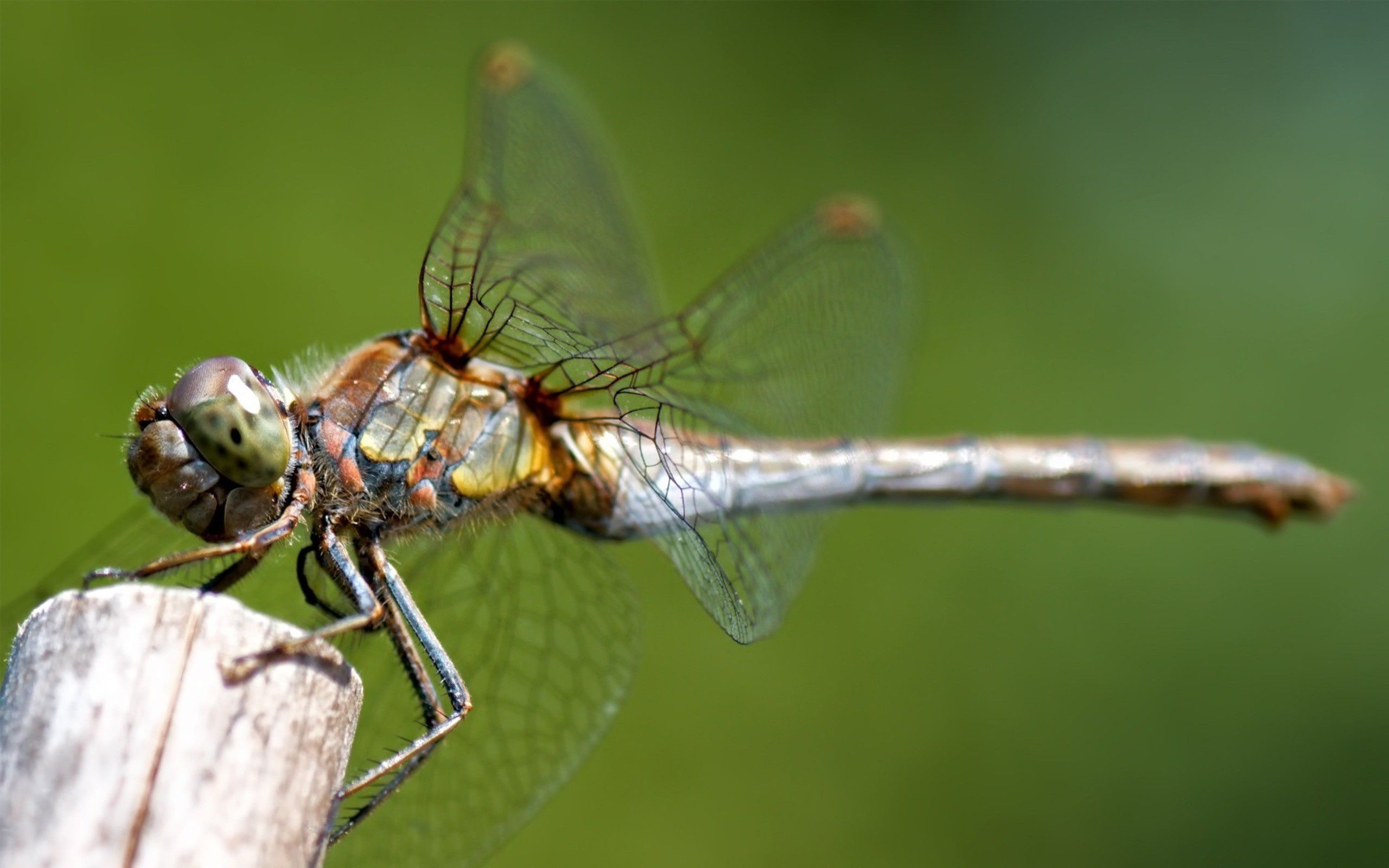 Dragonfly Macro Wallpaper Download Wallpaper with 2560x1600 2560x1600