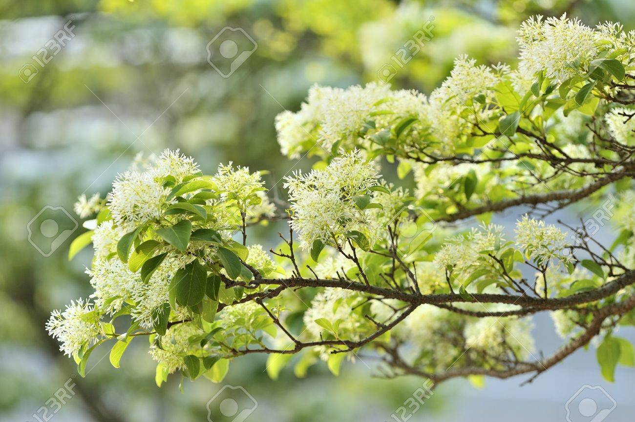 Chinese Fringe Tree Chionanthus In The Park Can Be Used As Stock 1300x865